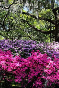 Savannah in spring - Azaleas, Live Oak with Spanish Moss