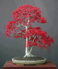 Photo: Beautiful Japanese Bonsai