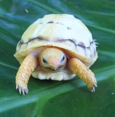 Lavender Albino Redfooted Tortoise