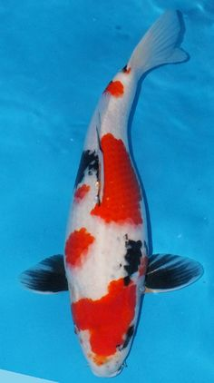 Showa Black Koi With Red And White Markings Showa The