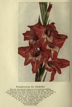 Luther Burbank: Improved Gladiolus Agricultural Science, Gladiolus, Luther, Poppies, Daisy, Flowers, Daisies, Florals, Bellis Perennis
