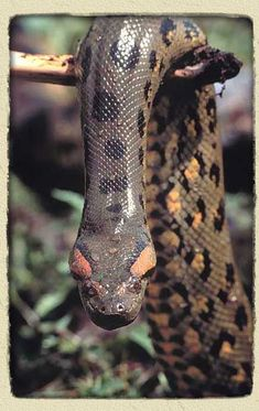 Rainforest Adventures Anaconda Facts