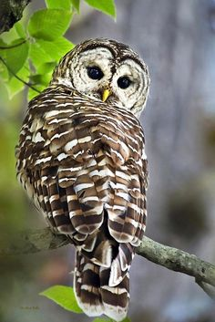 Barred Owl Print by Christina Rollo.  All prints are professionally printed…