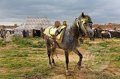 Horses of Morrocco | Hobbled horse, Meknes, Morocco | Stock Photo #1597-80015