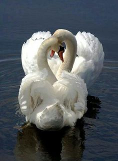 22 Pictures of a Happy Valentines Veterinary Zoo - meowlogy Animals And Pets, Funny Animals, Cute Animals, Nature Animals, Beautiful Swan, Beautiful Birds, Swans, Tier Fotos, Swan Lake
