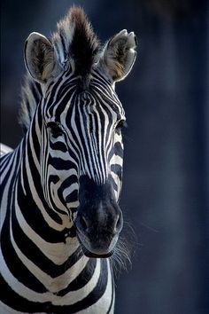 Zebra ~ nice picture (photographer unknown)