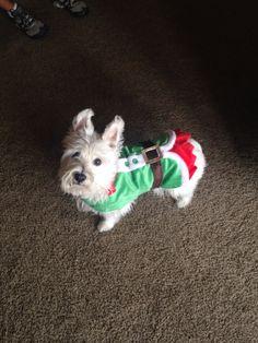 Westie Maggie my Elf