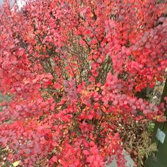 A burst of #autumncolour #leaves #autumn #autumn2016 Would tell you what it is but have no idea