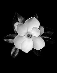 Magnolia Grandiflora by Gary Heery