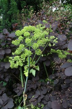 Angelica gigas and Cotinus coggygria at Bryan's Ground