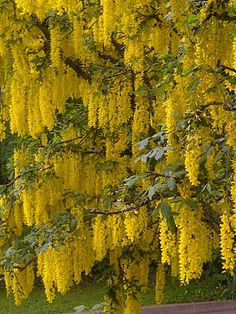 Mimosa pinterest flowers gardens and plants golden rain tree south florida in full bloom in the springa bit messy mightylinksfo