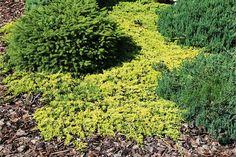 Можжевельник горизонтальный Голден Карпет (Juniperus horizontalis Golden Carpet) - можжевельник горизонтальный, можжевельник горизонтальный Голден Карпет, купить можжевельник горизонтальный