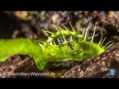 Mini ants rob the prey of the carnivorous plant venus flytrap Venus Flytrap, Carnivorous Plants, The Creator, Wildlife, Mini, Macro Photography, Cameras, Nature, Animals