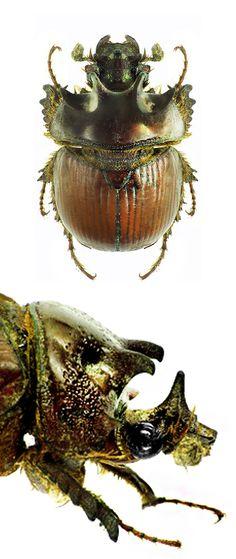 Bolboceras armigerum