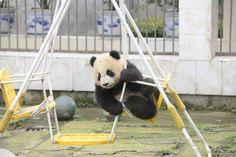 Pandas NEED our LOVE : Photo