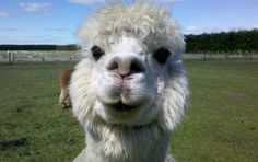 Friendly Alpaca We love our alpacas and love taking care of them. To see more stunning alpacas and their finished products visit http://sacredmountainfarms.com.