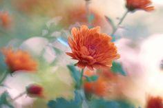 chrysanthemum  for large desktop 2048x1365