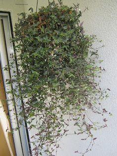 ....Adenium Blog....: Plantas ornamentais boas para apartamento. Plantar, Garden Tips, Outdoor Structures, Bathroom, Home Decor, Vegetable Garden Tips, Hanging Plants, String Garden, Secret Gardens