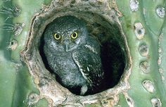 Elf Owl in cactus home  by Kate McKinnon