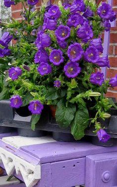 Purple flowers in Port Jefferson, Long Island....