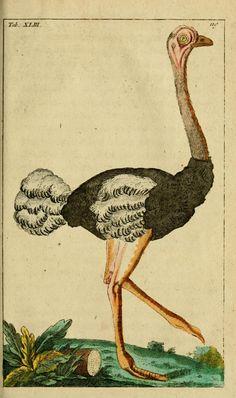 Ostrich (Struthio camelus)  T 1 - Unterhaltungen aus der Naturgeschichte. - Biodiversity Heritage Library