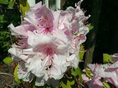 20140505  (Rhododendron/杜鵑)