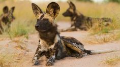 Volunteering in Africa with African wild dogs. So adorable! Our new projects allow you to work closely with these big eared wild dogs as well as other African animals like the gracious cheetah #volunteer #volunteering #kilroy #travel #wildlife #help #animals #contribute #makeadifference