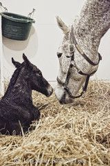 Horse Photograph of Mare and Foal meeting for the first time, infused onto aluminum. From the New York States of Mind Marketplace.  The Foal Project.