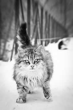 """Cats are smarter than dogs. You can't get 8 cats to pull a sled through the snow."" --Jeff Valdez"