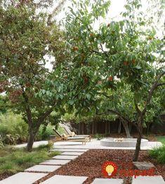 Backyard Garden With Fuyu Persimmon Tree : Growing Fuyu Persimmon Trees Fruit Tree Garden, Garden Trees, Fruit Trees, Fruit Fruit, Privacy Landscaping, Garden Landscaping, Fuyu Persimmon Tree, Landscape Design, Garden Design