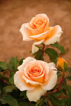 """photo: pair of orange roses . look like the Lucy rose named after """"Lucy"""" of he I Love Lucy show . Beautiful Rose Flowers, Flowers Nature, Exotic Flowers, Amazing Flowers, Beautiful Gardens, Beautiful Flowers, Colorful Roses, Rosen Beet, Orange Roses"""