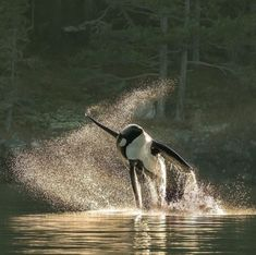 Orcas, Big Whale, Les Continents, Rare Animals, Strange Animals, Killer Whales, Whale Watching, Ocean Life, Marine Life