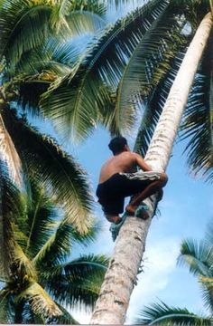 Climbing a Coconut tree – skills needed!