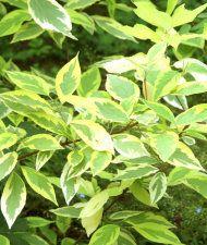 Cornus alba ''Gouchhaultii' keltakirjokanukka
