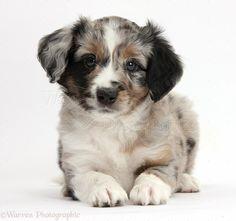 miniature american shepherd puppies | WP38451 Merle Miniature American Shepherd puppy, 6 weeks old, lying ...