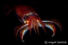 squid Underwater Images, Horror Stories, Creatures, Animals, Photos, Underwater, Animales, Pictures, Animaux
