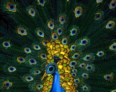 Peacock by Cecilia Webber