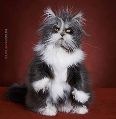 LOVE this kitty!! He has some sort of disorder that causes him to grow excess fur, but it's so adorable! He looks like a little werewolf! :)