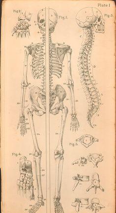 Lámina cuerpo humano vintage