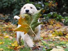 Wallpapers Golden Retriever puppy, photo, pictures