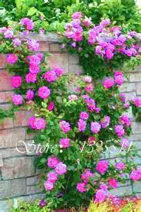 100pcs Thailand Climbing Beautyful Rose seeds, rare plant rose seeds, home & garden, bonsai garden flowers. sent gift