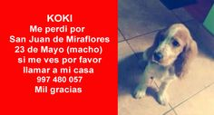 Koki me perdi por San Juan de Miraflores, 23 de Mayo (macho) si me ves por favor llamar a mi casa 997 480 057 mil gracias https://www.facebook.com/VozAnimalPeru/photos/pcb.975629312448744/975629139115428/?type=1