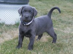 silver lab puppies for sale | Silver Charcoal Lab (Labrador Retriever) Puppies for sale for sale in ...