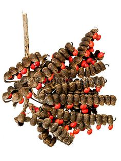 Image detail for -... sar race nia flava seed pod this one con tained almost 500 seeds you