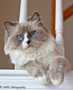 Love the color of this ragdoll