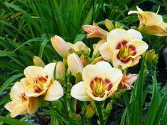 Uśmiech liliowca :)  W Ogrodach Kapias