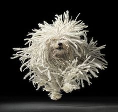"Komondor! I've always loved this photo! By Tim Flach, http://www.timflach.com/  (His book, ""Dogs,"" is wonderful!)"