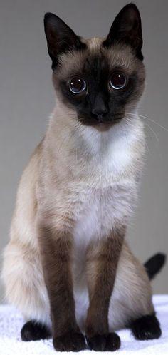 meu deus que fofooo Veja este link >> http://www.universodegatos.com/gato-siames/ ~ O Gato Siames é uma raça natural, a sua coloração é o resultado de uma mutação genética. Ele tem contribuído para muitas outras raças... descubra agora.