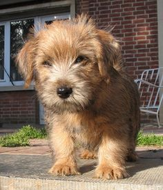 Norfolk Terrier breed info,Pictures,Characteristics,Hypoallergenic:Yes
