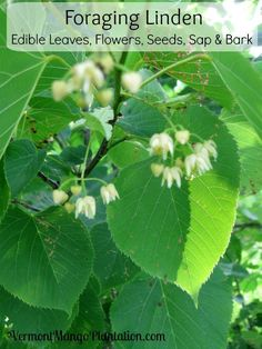 The Linden tree (Tilia sp.) , also known as Basswood, Honey-Tree, Bee Tree or Lime Tree, is a common deciduous tree found throughout the northern hemisphere.  It's easily identified by it's…